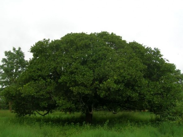 Cashew Tree