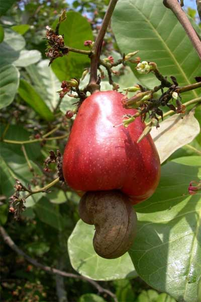 Cashew Fruit on the Tree